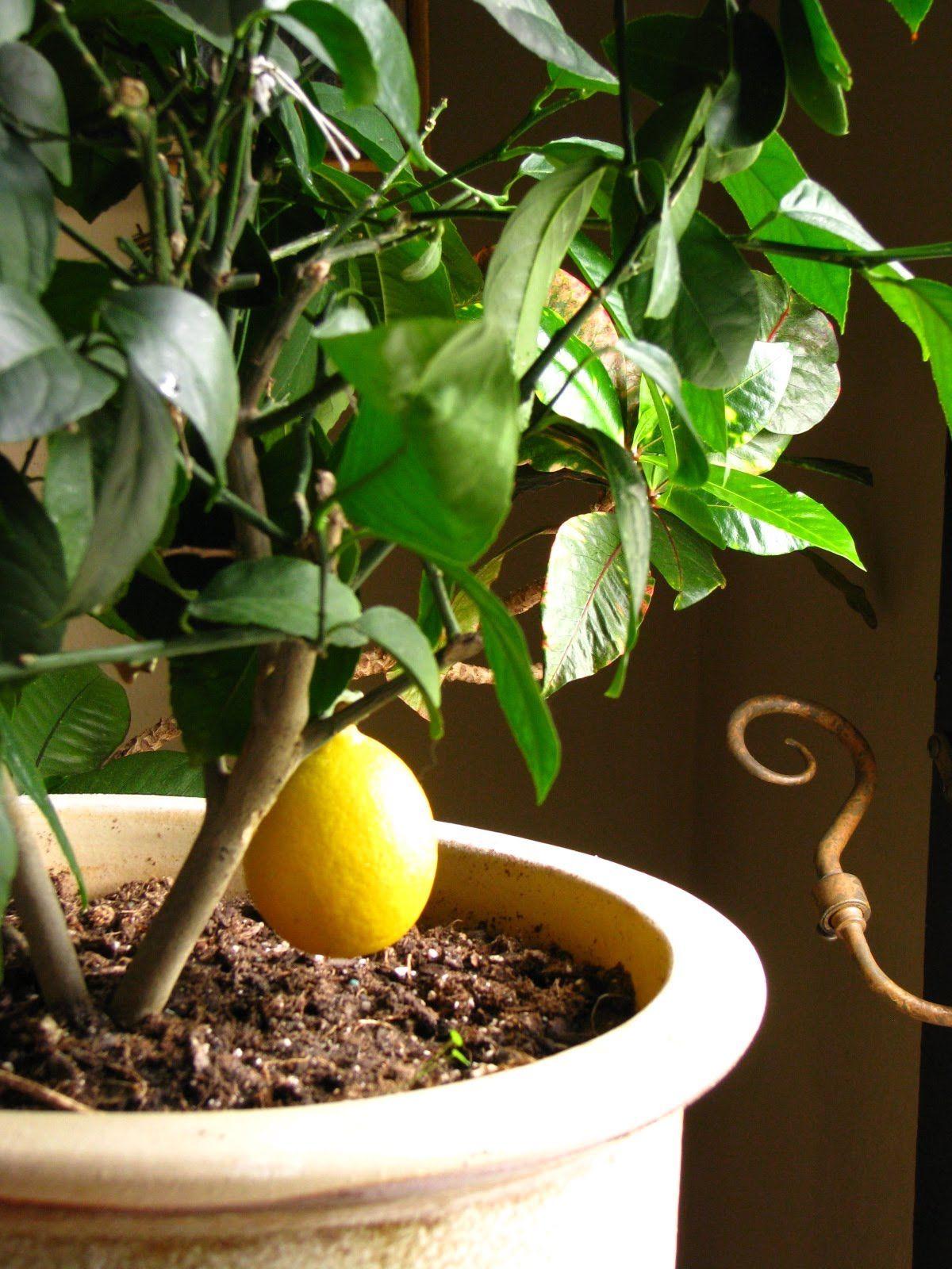 Как ухаживать за лимоном в домашних условиях 32