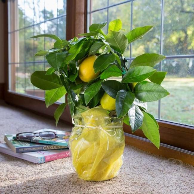 Комнатный гибрид апельсина и лимона