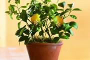 Фото 6 Комнатный лимон: сорта, уход в домашних условиях