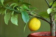 Фото 8 Комнатный лимон: сорта, уход в домашних условиях