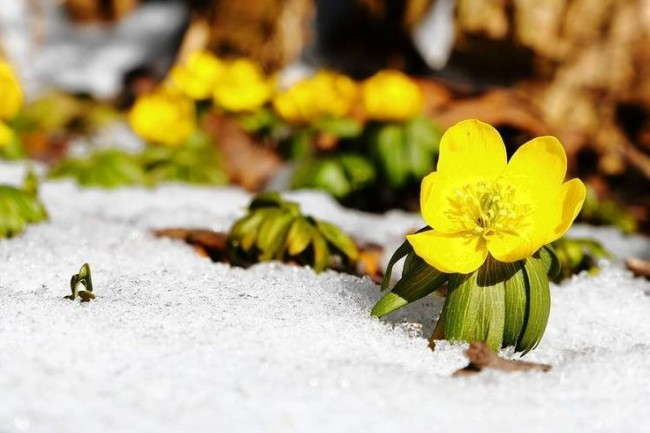 Солнечные цветы в снегу