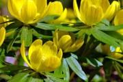 Фото 1 Весенние первоцветы: фото с названиями