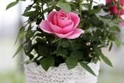 Фото 6 Комнатная роза: уход за капризной красавицей