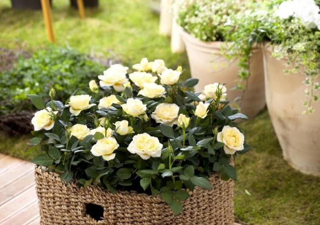С каждым годом домашние розы становятся всё более популярными