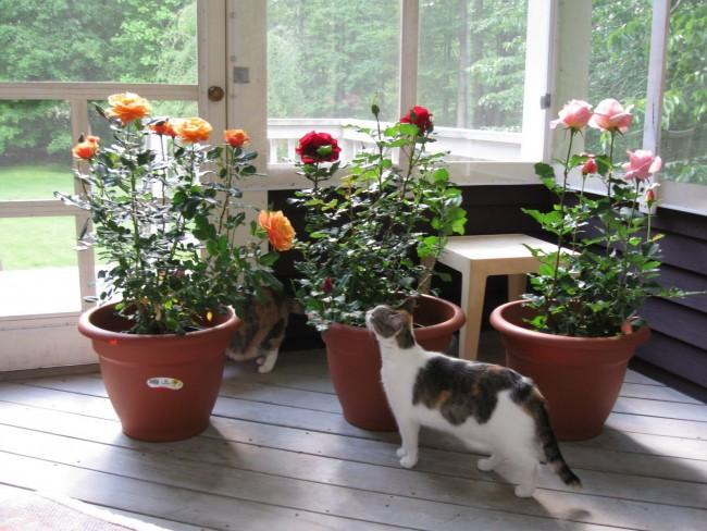 Розы в горшке - популярны в комнатном цветоводстве