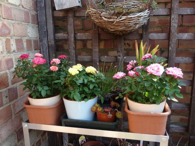 Новый горшок для розы должен быть большего размера, чем контейнер, на несколько сантиметров в диаметре и около 5–7 см по высоте