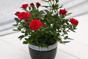 Фото 5 Комнатная роза: уход за капризной красавицей