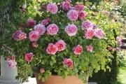 Фото 23 Комнатная роза: уход за капризной красавицей