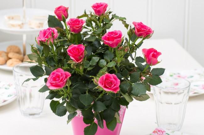Хорошо отзываются розы на опрыскивание листьев