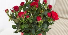 Комнатная роза: уход за капризной красавицей фото