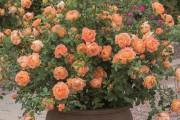 Фото 22 Комнатная роза: уход за капризной красавицей