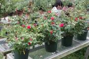 Фото 14 Комнатная роза: уход за капризной красавицей