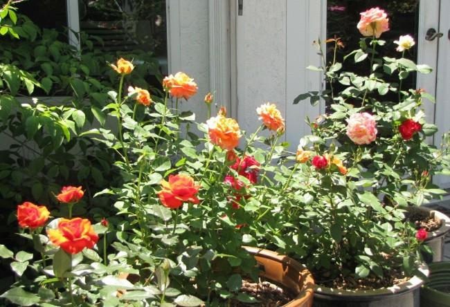 Розы выставлять на солнце на подоконнике или в саду можно в зависимости от погодных условий
