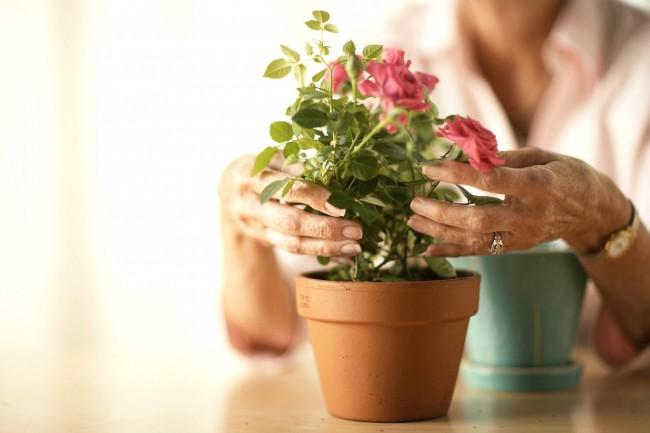Как только цветок был куплен вами и принесен домой, не стоит прибегать к его пересадке или действиям, которые могут нарушить его покой
