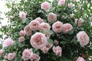 Фото 20 Как ухаживать за розами осенью? Посадка, обрезка, подкормка и подготовка к зиме — советы садоводов