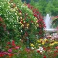 Как ухаживать за розами осенью: посадка, обрезка и подготовка к зиме фото