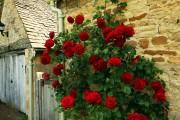 Фото 6 Как ухаживать за розами осенью? Посадка, обрезка, подкормка и подготовка к зиме — советы садоводов