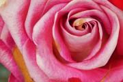 Фото 5 Как ухаживать за розами осенью? Посадка, обрезка, подкормка и подготовка к зиме — советы садоводов