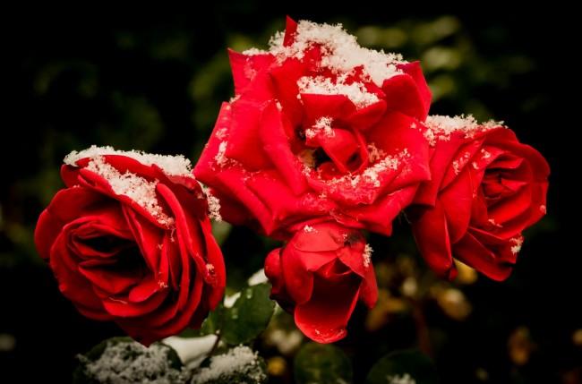 Все работы в розарии необходимо провести до выпадения снега