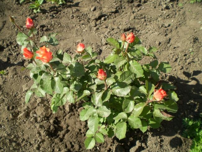 Несмотря на «колючесть», изысканные цветы пользуются неизменной популярностью
