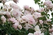 Фото 16 Как ухаживать за розами осенью? Посадка, обрезка, подкормка и подготовка к зиме — советы садоводов