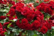 Фото 4 Как ухаживать за розами осенью? Посадка, обрезка, подкормка и подготовка к зиме — советы садоводов