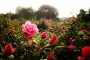 Фото 21 Как ухаживать за розами осенью? Посадка, обрезка, подкормка и подготовка к зиме — советы садоводов
