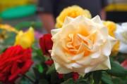Фото 22 Как ухаживать за розами осенью? Посадка, обрезка, подкормка и подготовка к зиме — советы садоводов