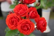 Фото 23 Как ухаживать за розами осенью? Посадка, обрезка, подкормка и подготовка к зиме — советы садоводов