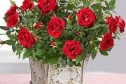 Фото 4 Комнатная роза: уход за капризной красавицей