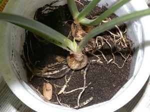 Фото 1. Как правильно разместить корни в горшке