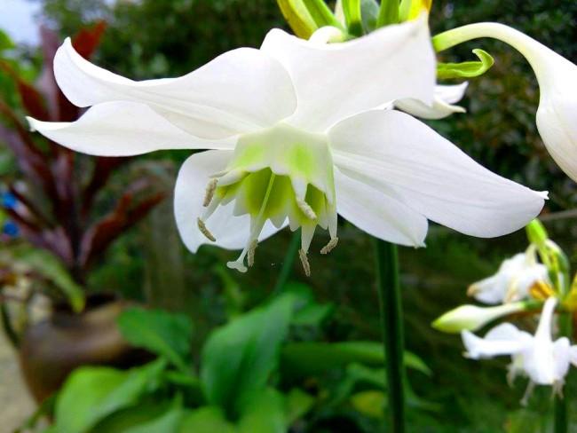 Если ранней весной прекратить полив на полтора месяца - это простимулирует цветение