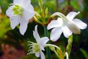 Фото 5 Амазонская лилия (эухарис): как ухаживать правильно