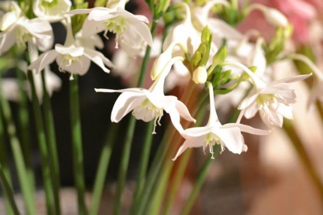Этот южноамериканский цветок любит почву, удобренную большим количеством калия. Обратите на это внимание, составляя смесь для подкормки