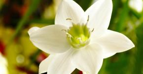 Амазонская лилия (эухарис): как ухаживать правильно фото
