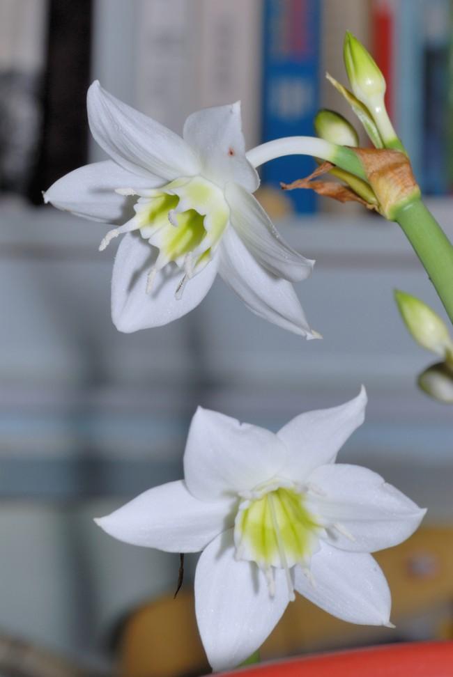 В комнатной культуре широко распространен Eucharis Grandiflora, с помощью селекции выведен ряд его сортов