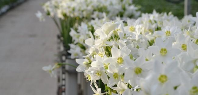 В первой половине XIX в. эухарис был завезен в Европу и быстро завоевал популярность в садовой и комнатной культуре