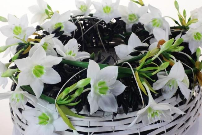 Наилучшее цветение - в тесных горшках диаметром 25-30 см, по 5-10 луковиц на один горшок. Рассаженные таким образом, эти цветы могут прожить много сезонов, требуя относительно немного внимания