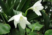 Фото 21 Амазонская лилия (эухарис): как ухаживать правильно
