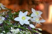 Фото 1 Амазонская лилия (эухарис): как ухаживать правильно