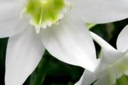 Фото 25 Амазонская лилия (эухарис): как ухаживать правильно
