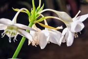 Фото 12 Амазонская лилия (эухарис): как ухаживать правильно