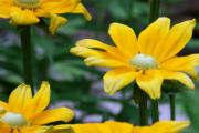 Фото 5 Рудбекия — «золотой шар» в вашем саду (50+ фото видов): советы по посадке и уходу от опытных садоводов