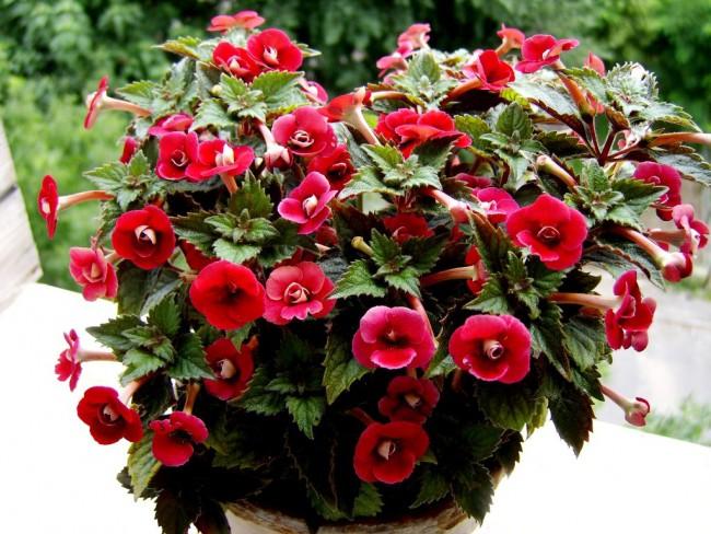 Чтобы растение порадовало вас своим цветением необходимо создать ему благоприятные условия