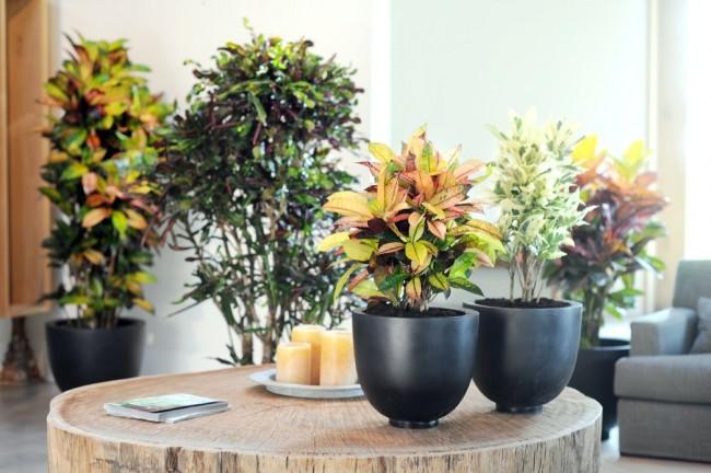 При пересадке нужно брать цветки вместе с комом земли, чтобы не нарушить состояния корневой системы, взрослый кротон не должен пересаживаться чаще, чем три раза в год