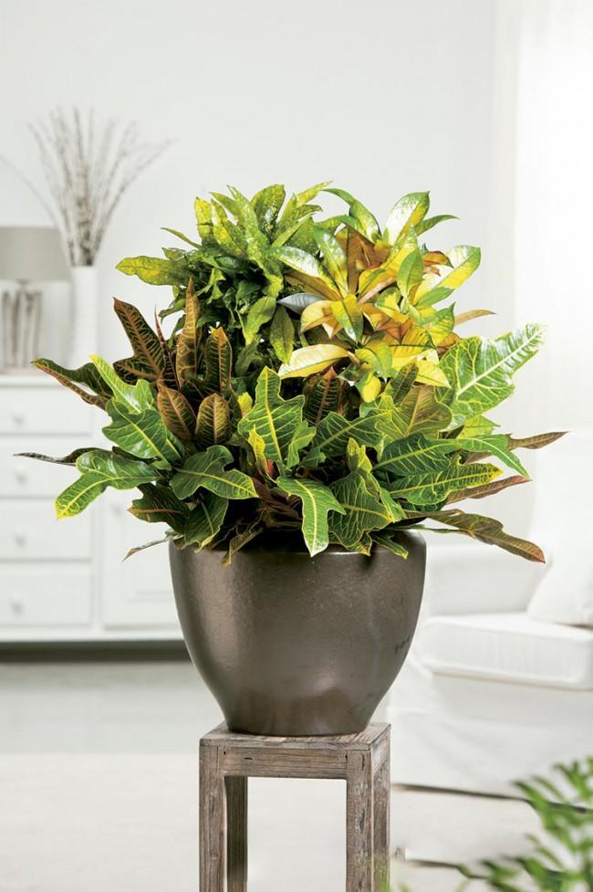 Оригинальная расцветка листьев, достигается благодаря определенному уровню света и температуры