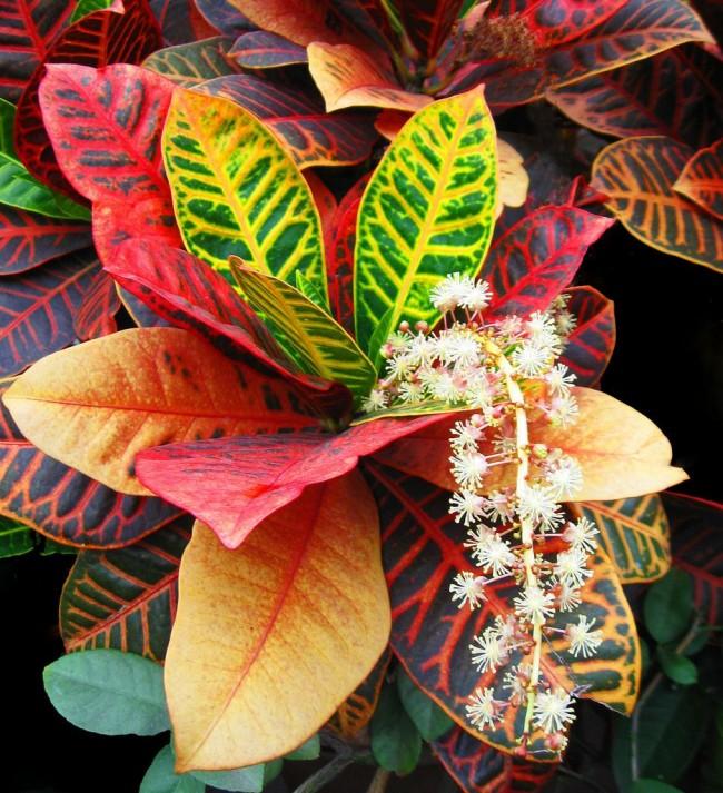 Изящное цветение кротона