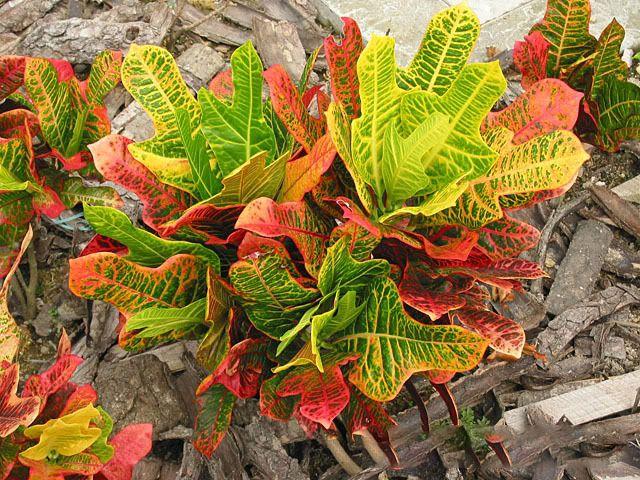 Вырезные листья в виде дубового листа