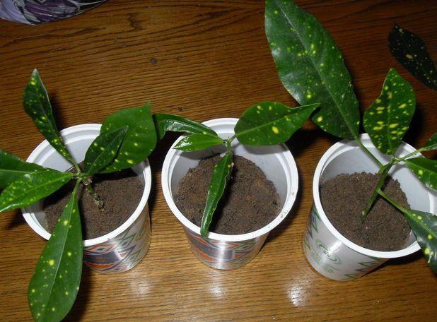 Пока молодой кротон растет, он нуждается в постоянной подкормке минеральными или комплексными удобрениями для декоративных растений. Удобрения вносятся после полива