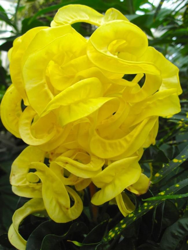 Лентовидная разновидность тропического растения